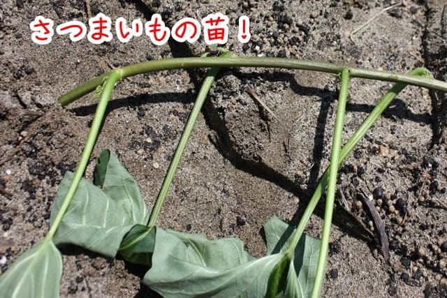 1歳からできる農業体験。さつまいもの苗付けに行ってきました。